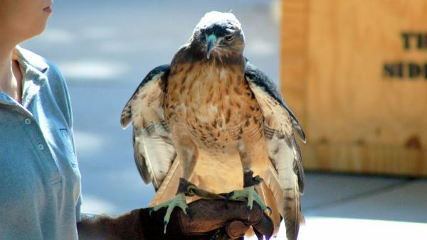 roodstaartbuizerd red tailed hawk